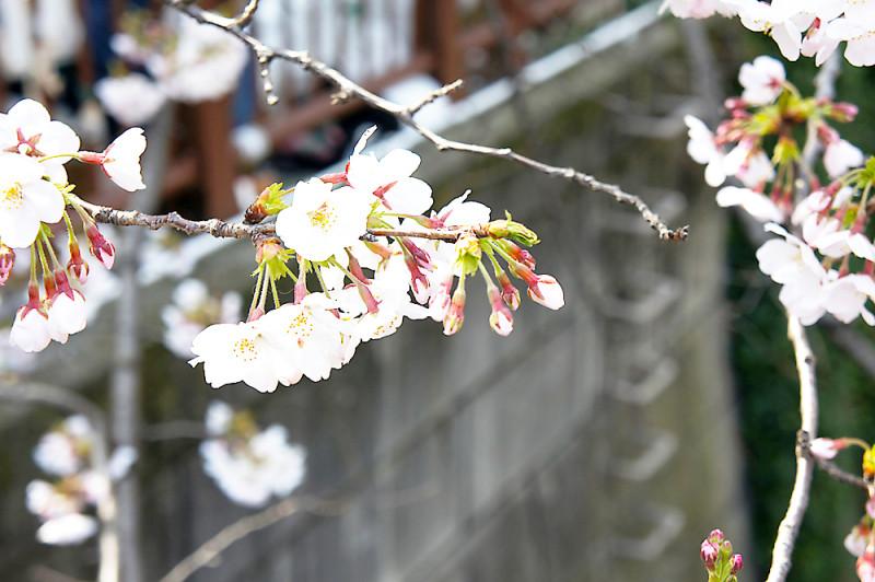 中目川の桜