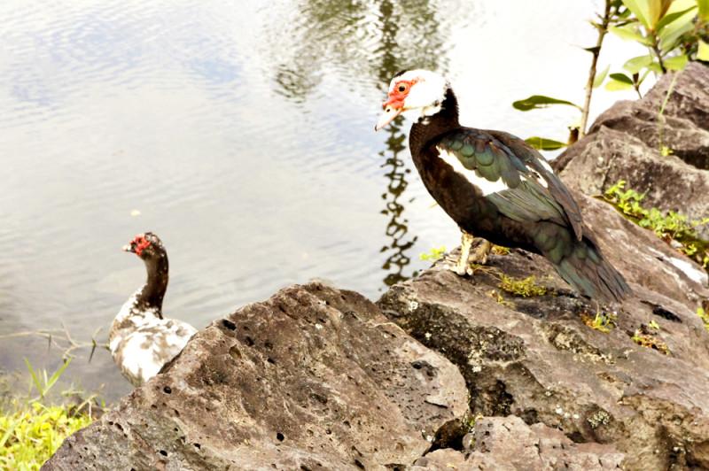 ハワイ島の謎の鳥