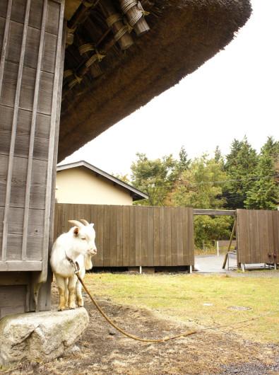 山荘 四季庵にいたヤギ