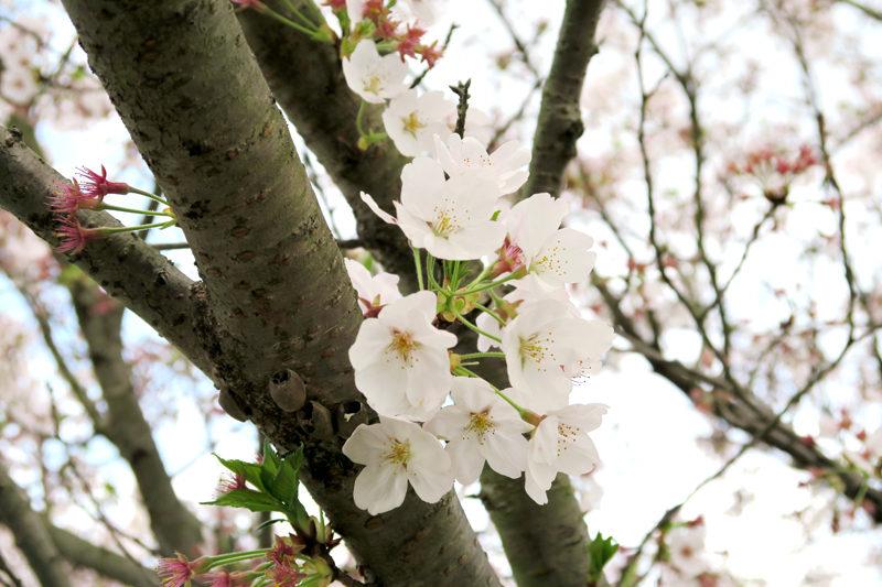桜(Canon Powershot G7xにて撮影)